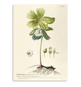 The Dybdahl Co. - Podophyllum #3719, 70x100