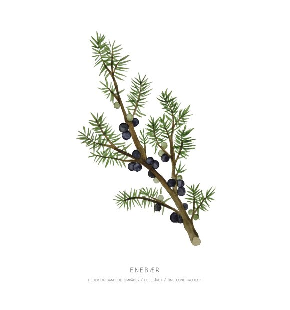 Pine Cone Project - Enebær A4