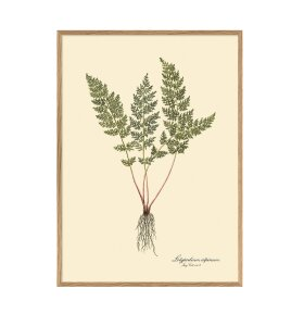 The Dybdahl Co. - Lolypodium Alpinum 30*40
